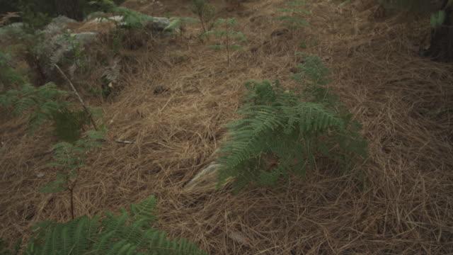 vídeos y material grabado en eventos de stock de pan over pine trees in forest with lens flare, south africa, 2013 - pinar