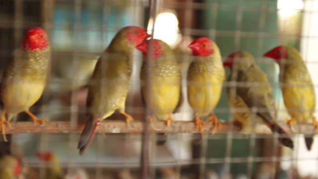 pan over star finches in cage. - petshop stock videos and b-roll footage