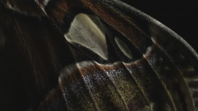 Pan over wings of newly emerged Yonaguni moth (Attacus atlas ryukyuensis). Japan.