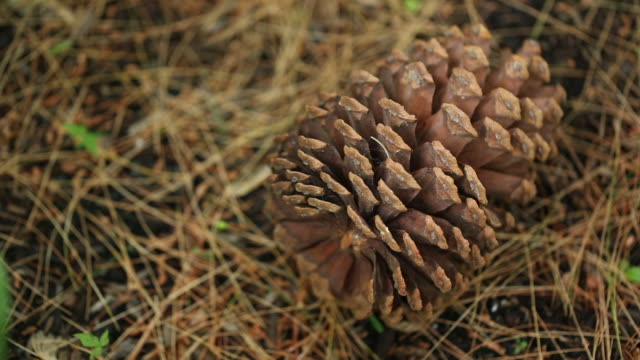 pan, pinecone on the ground - pinecone stock videos & royalty-free footage