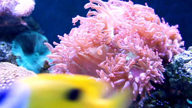 cs pan pink sea anemone. - sea anemone stock videos & royalty-free footage