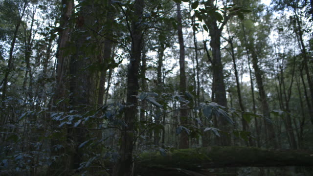 pan right across a forest in new south wales, australia. - woodland stock videos & royalty-free footage