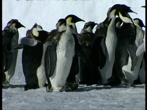 vidéos et rushes de ms pan right across group of emperor penguins, aptenodytes forsteri, shaking and grooming themselves, antarctica - se lisser les plumes