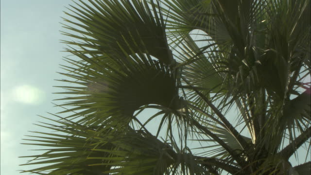 Pan right across the leaves of a palm tree.