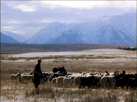 pan right across valley as sheep and goats are herded darhad valley mongolia - independent mongolia stock videos and b-roll footage