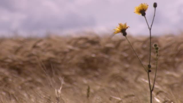 Pan right across wheat waving in a breeze to dandelions in a region heavily affected by WWI, Hauts-de-France.