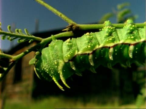 CU Pan right along body of green caterpillar feeding on plant, USA