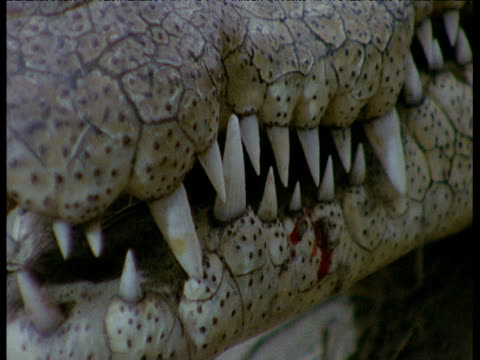 pan right along nile crocodile's jaws and teeth to eye - resting stock videos & royalty-free footage