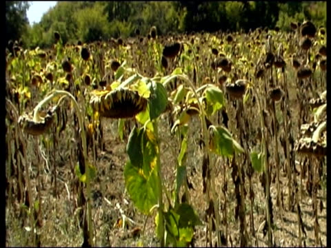 Pan right along rows of dead sunflowers dried up in field with bowed droopy heads Bulgaria