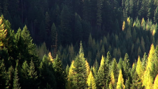 Pan right and left telephoto shot of golden fall colored trees in evergreen forest.