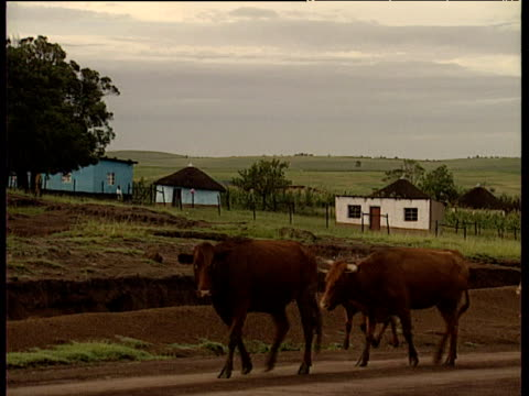 pan right as cattle walk past to left traditional rondaval huts in background - tetto di paglia video stock e b–roll
