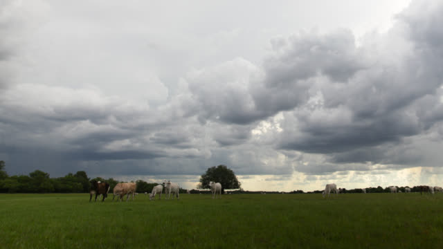 Pan right as clouds scud over cattle on grassland.