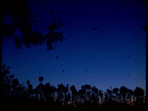 vidéos et rushes de pan right as colony of grey headed fruit bats leave roost at dusk, australia - colony