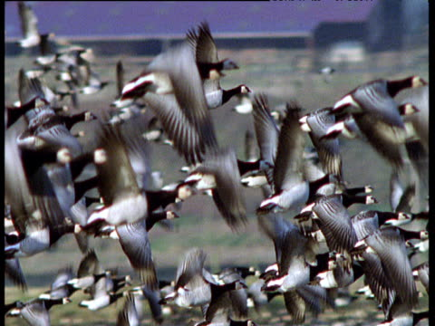 pan right as flock of barnacle geese take off and fly over farmland, ireland - barnacle stock videos & royalty-free footage