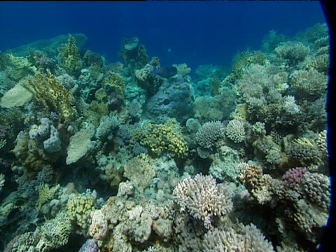 pan right as parrotfish swims over diverse corals, red sea - red sea stock videos & royalty-free footage