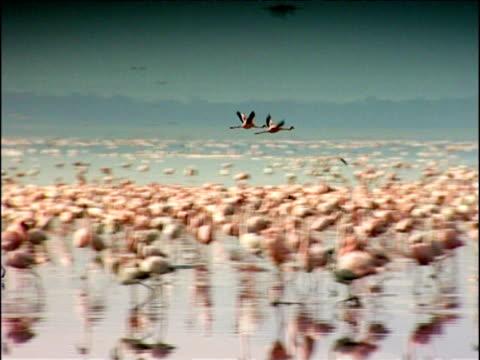 Pan right as two flamingos fly above thousands below Lake Nakuru Kenya