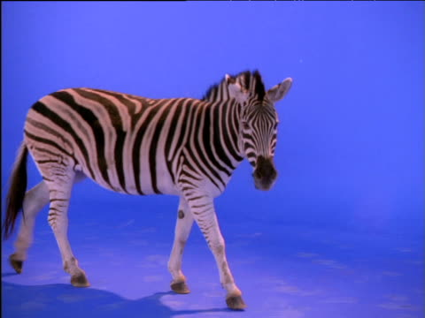 vidéos et rushes de pan right as zebra walks then stops - mammifère