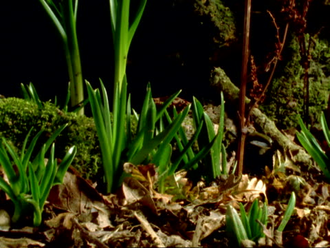 vídeos de stock, filmes e b-roll de t/l - cu pan right, clumps of bluebell leaves growing upwards, england - planta nova