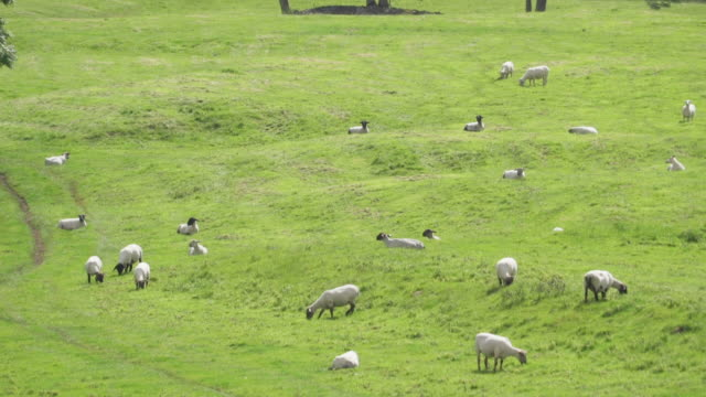 pan right, flock of sheep in irish field - flock of sheep stock videos & royalty-free footage