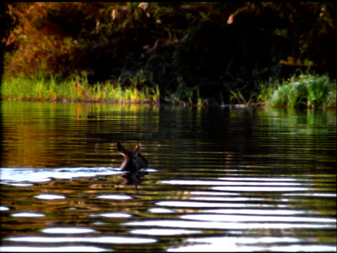 pan right following bushbuck antelope swimming across river, botswana - camminare nell'acqua video stock e b–roll