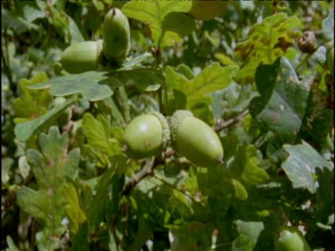 pan right from acorns to oak knopper galls - parasitic stock videos & royalty-free footage