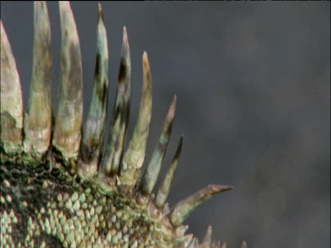 Pan right from spines to face of marine iguana, Galapagos Islands