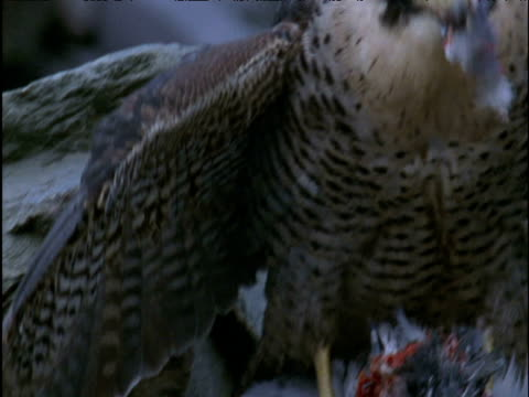 pan right from wing to head of feeding peregrine falcon - bird of prey stock videos & royalty-free footage