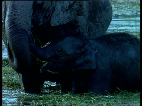mcu pan right, indian elephant mother and baby in river feeding on water grass, india - tierische nase stock-videos und b-roll-filmmaterial