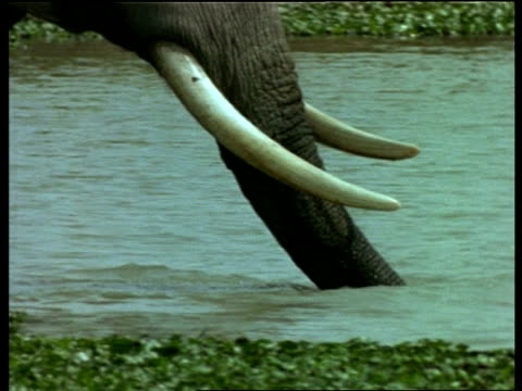 vídeos de stock e filmes b-roll de cu pan right, indian elephant trunk moving through water, india - nariz de animal