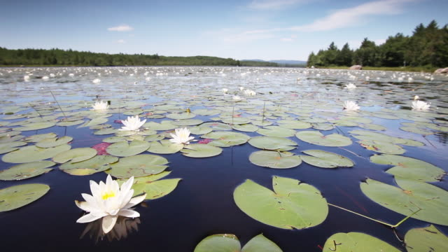 Pan right, lily pads on Maine lake
