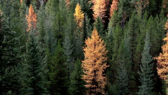 vídeos y material grabado en eventos de stock de pan right of autumn golden larch trees in pine forest. - pinaceae