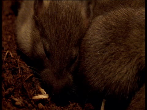 Pan right over baby Brown Rats asleep in nest in sewer, Yorkshire
