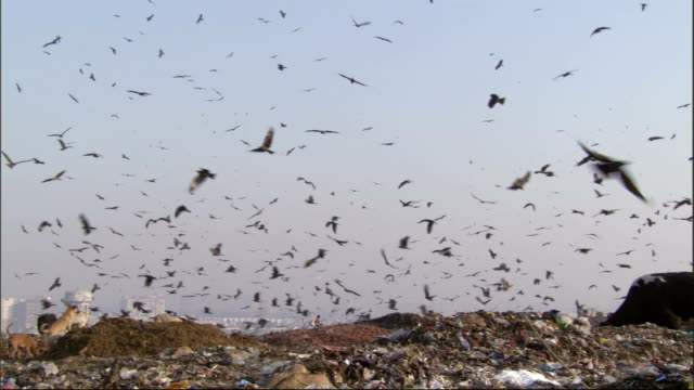 Pan right over cattle dogs and birds feeding on rubbish tip. Available in HD.