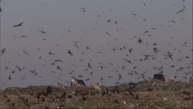 Pan right over cattle people and kites at rubbish tip. Available in HD.