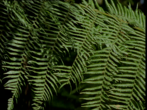 pan right over drooping tree fern frond, kinglake, victoria, australia - frond stock videos & royalty-free footage