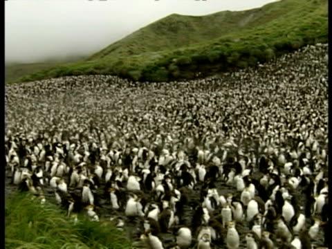 vidéos et rushes de wa pan right over enormous royal penguin colony on land, antarctica - colony