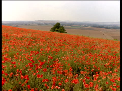 pan right over field full of poppies - armistice stock videos & royalty-free footage