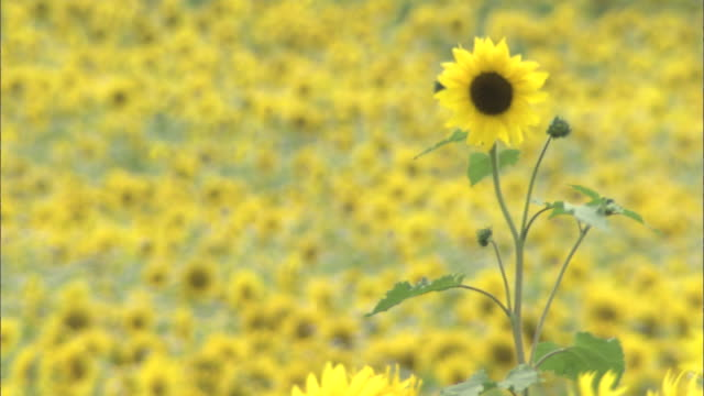 pan right over field of sunflowers - common sunflower stock videos & royalty-free footage