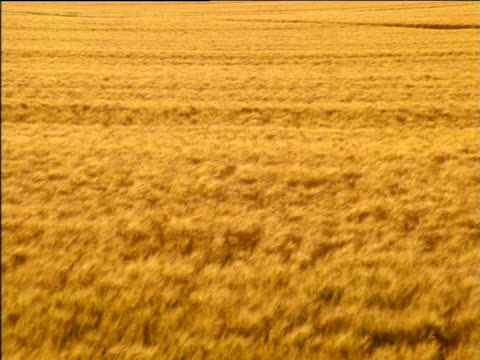 stockvideo's en b-roll-footage met pan right over field of swaying wheat crops - plant attribute
