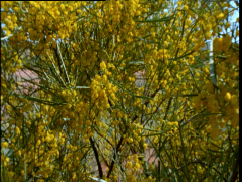 pan right over flowering wattle in outback after desert rains, sturt national park, new south wales, australia - acacia tree stock videos & royalty-free footage