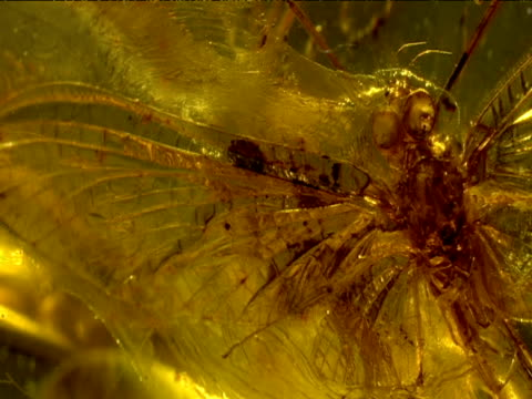 vídeos de stock e filmes b-roll de pan right over fossilized mayfly in amber - arcaico