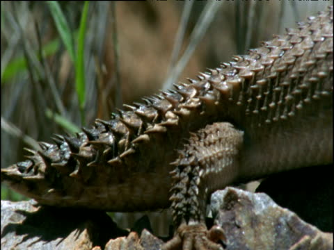pan right over gidgee skink in outback, australia - tierhaut stock-videos und b-roll-filmmaterial