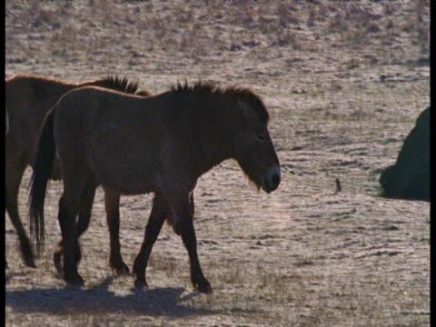 pan right over herd of przewalski's horses on frosty plain, czech republic - przewalskihäst bildbanksvideor och videomaterial från bakom kulisserna