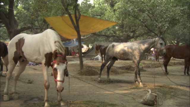 Pan right over horses for sale at Sonepur Mela Available in HD.
