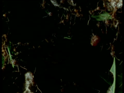 pan right over interior of leaf cutter ant nest, trinidad - leaf cutter ant stock videos and b-roll footage