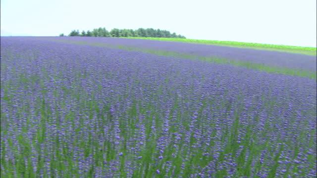 pan right over lavender field furano hokkaido - hokkaido stock videos & royalty-free footage