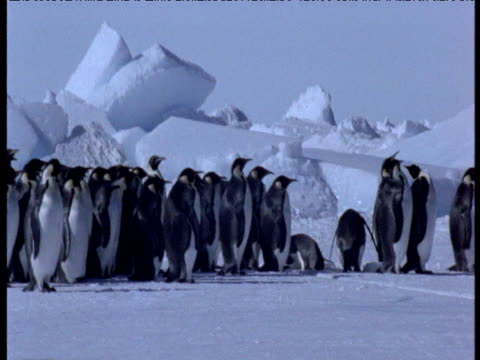 pan right over line of emperor penguins waiting to enter the water, adelie penguins at head of queue, terra nova, antarctica \n - emperor stock videos and b-roll footage