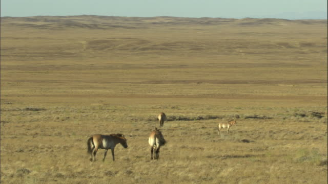 pan right over przewalski's horses on steppe, kalamaili nature reserve, xinjiang, china - przewalskipferd stock-videos und b-roll-filmmaterial