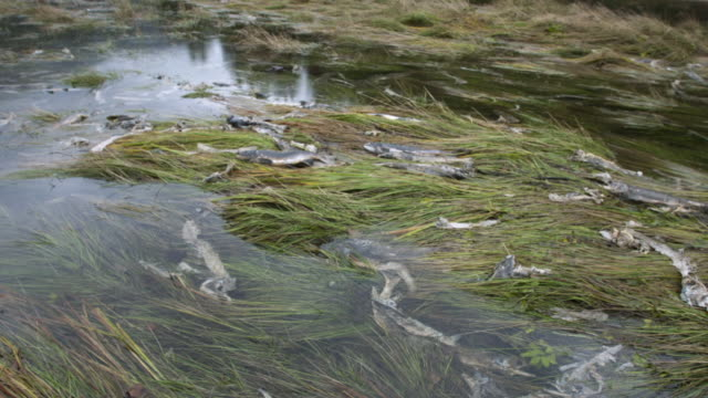 pan right over salmon carcasses at water's edge as water level falls. - dead animal stock videos & royalty-free footage