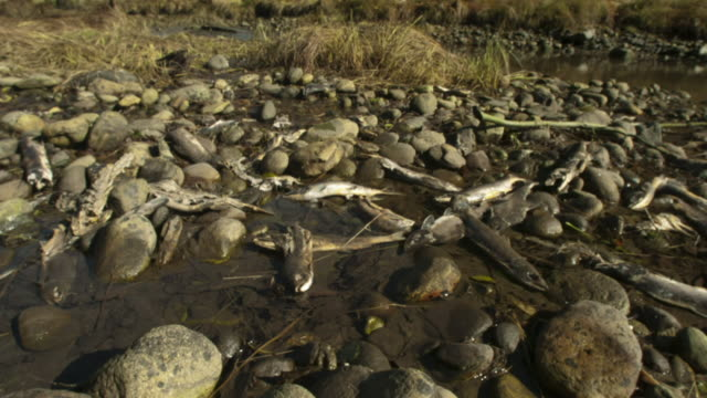 pan right over salmon carcasses on stony shore. - dead animal stock videos & royalty-free footage